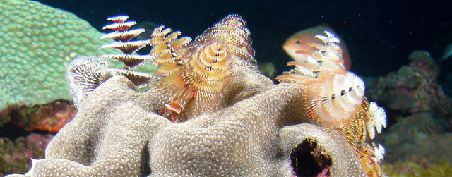 Close up of life on a reef, showing an Xmas Tree worm.
