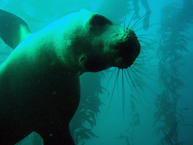 Curious Seal Looks At Camera In Kelp Bed