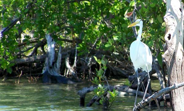 A crane sits in mangroves in Jobos Bay