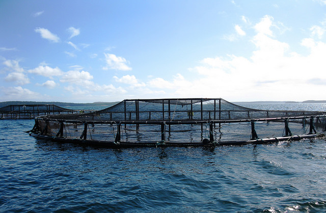 An open water fish farm pen, an example of aquaculture, in the ocean off the coast of Maine.
