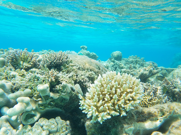 various corals in blear, blue, shallow water