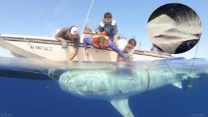 Researchers tagging a tiger shark as part of the second phase of a project to observe the movements of tiger sharks caught and tagged around the island of Maui. Source: Hawaii Institute of Marine Biology.
