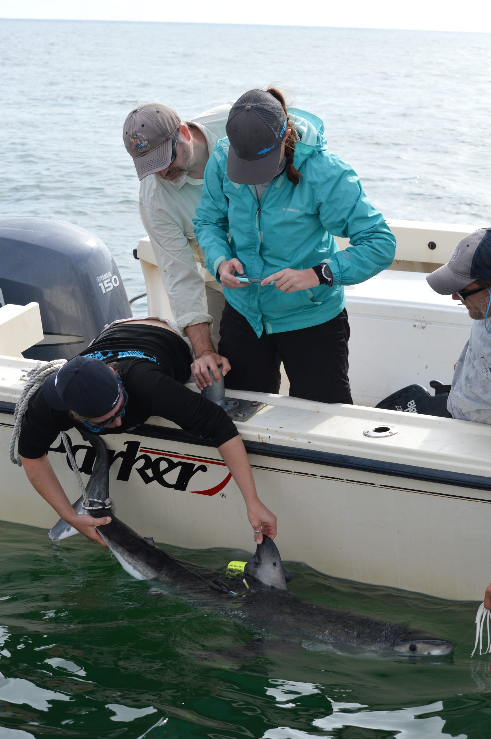 Researchers deploying bio-logging tags on white sharks in the mid-Atlantic Bight