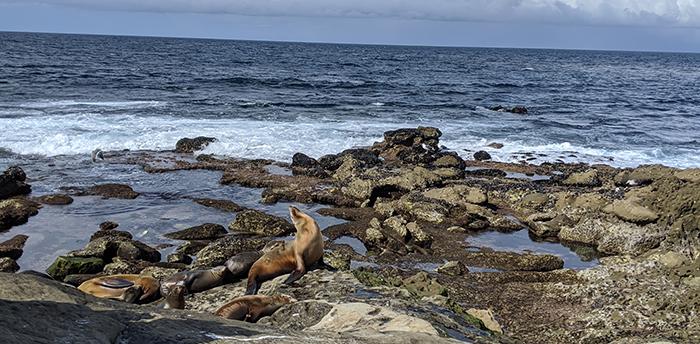 Sea lions basking at LaJolla Cove